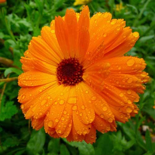 TOP   HERBS A-Z LIST. Gut Healing Tea. Calendula flowers 30gms