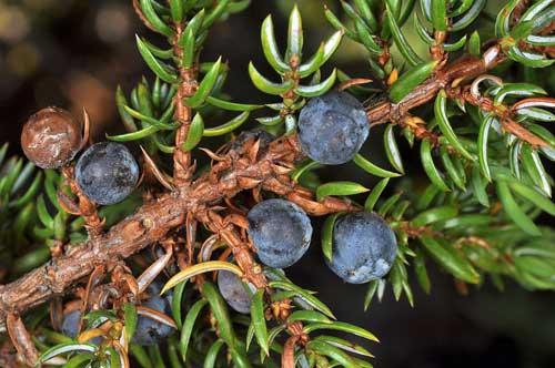 Richard Whelan Medical Herbalist Juniper Berries