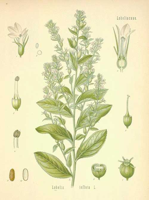 Richard Whelan Medical Herbalist Lobelia