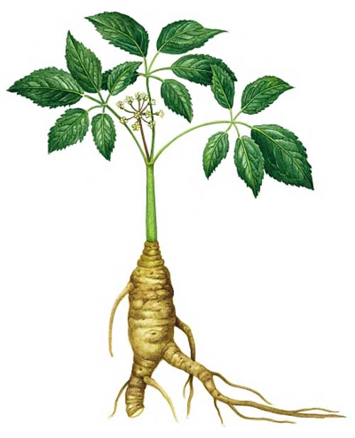 Richard Whelan ~ Medical Herbalist ~ Panax Ginseng