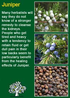 Juniper Berries Are Stimulating Carminative And Diuretic The Have Been Found Efficient In Gonorrhoea Gleet Leucorrhoea Cystirrhoea