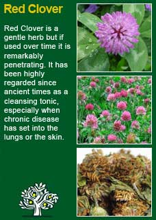 Red Clover Is An Excellent Alterative And One Of The Few Remes Which Favourably Influences Pertussis It Also A Remedy In Other Spasmodic Coughs